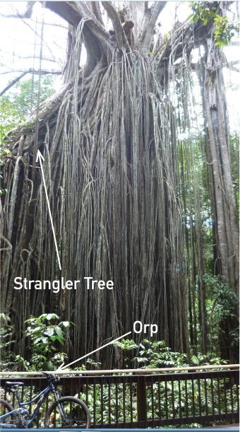 strangler-tree